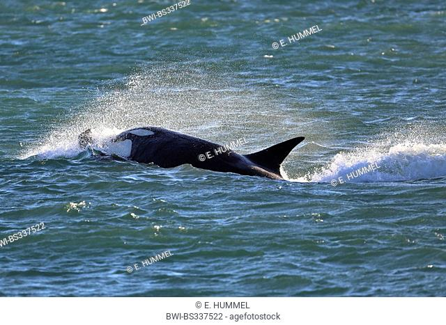 orca, great killer whale, grampus (Orcinus orca), attacking, Argentina, Patagonia, Valdes