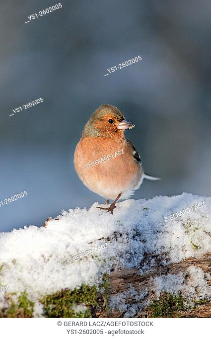 Common Chaffinch, fringilla coelebs, Male standing in Snow, Normandy