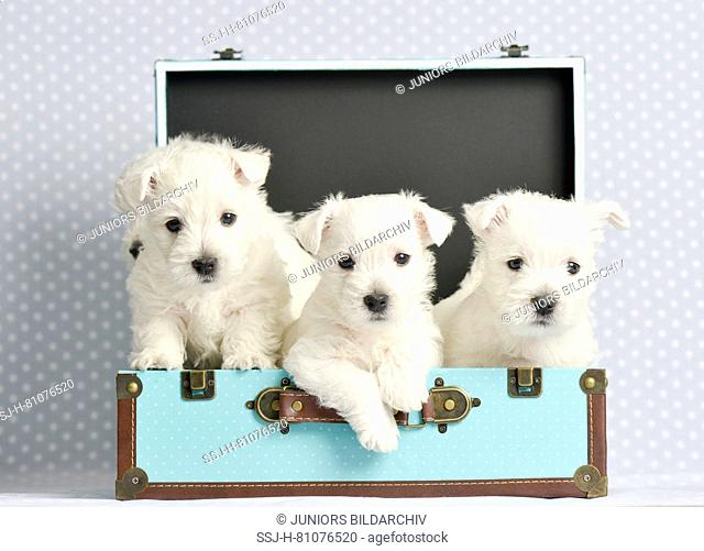 West Highland White Terrier. Three puppies (4 weeks old) in a small suitcase. Studio picture. Germany