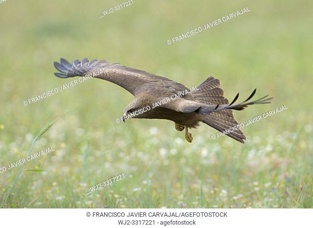 Black kite (Milvus migrans) in flight over the pasture, Extremadura, Spain