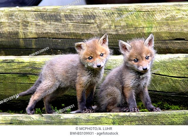 red fox (Vulpes vulpes), foxcubs in the garden, Germany, North Rhine-Westphalia