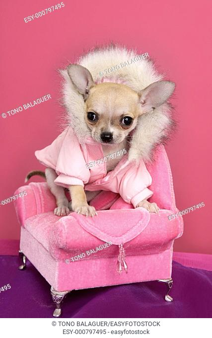 fashion chihuahua dog barbie style sofa armchair pink background