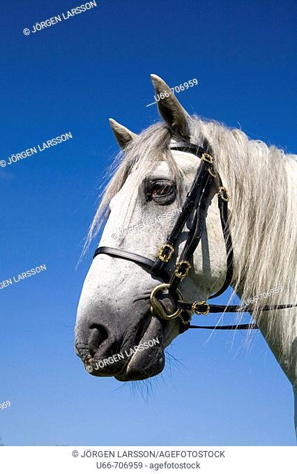 Lusitano horse