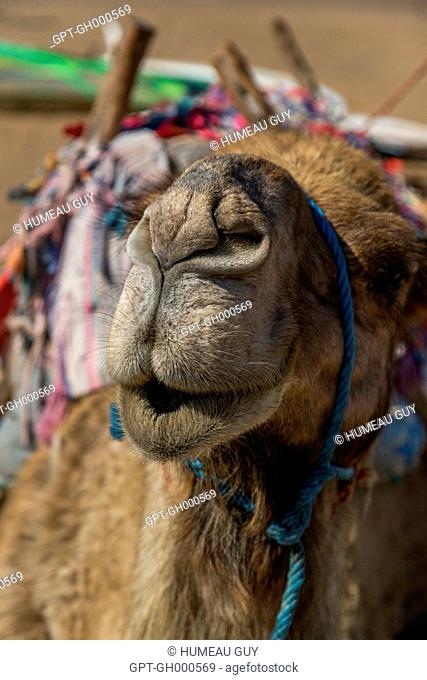 KISSING CAMEL ON THE BEACH, ESSAOUIRA, MOGADOR, ATLANTIC OCEAN, MOROCCO, AFRICA