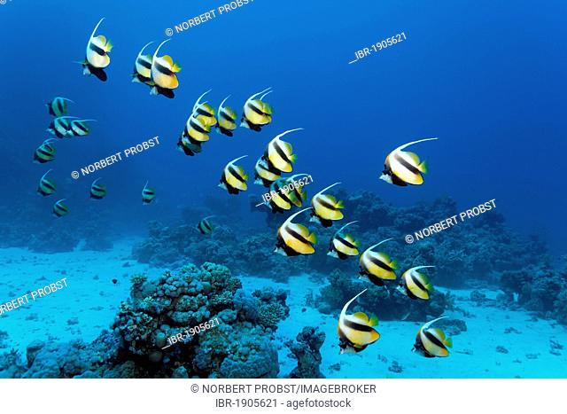 School of Red Sea bannerfish (Heniochus intermedius) swimming in blue water and a coral reef, Sharp Malahi, Egypt, Red Sea, Africa