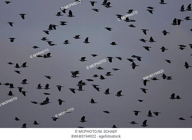 wood pigeon (Columba palumbus), flying flock, Spain, Extremadura