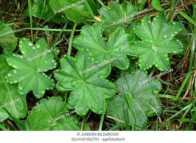Guttation drops on Lady`s Mantle leaves (Alchemilla vulgaris)