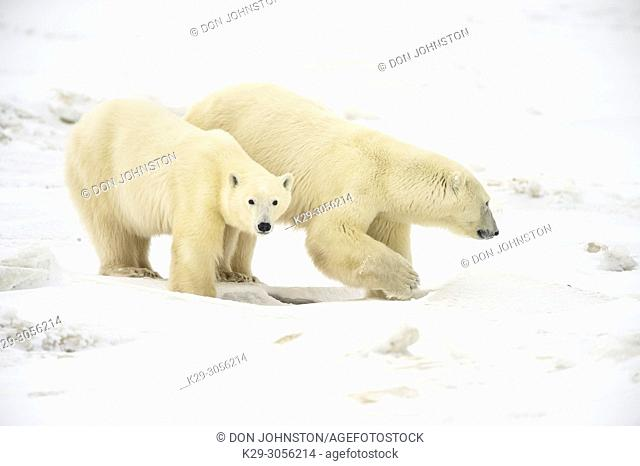 Polar Bear (Ursus maritimus) Yearling cubs with mother close by, Wapusk NP, Cape Churchill, Manitoba, Canada