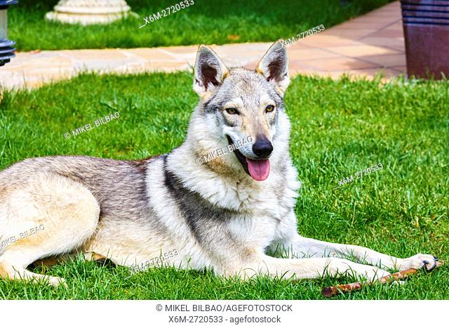 Czechoslovakian wolfdog on a garden