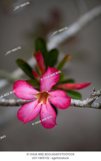Red tropical flowers. Image taken at home garden, Kuching, Sarawak, Malaysia
