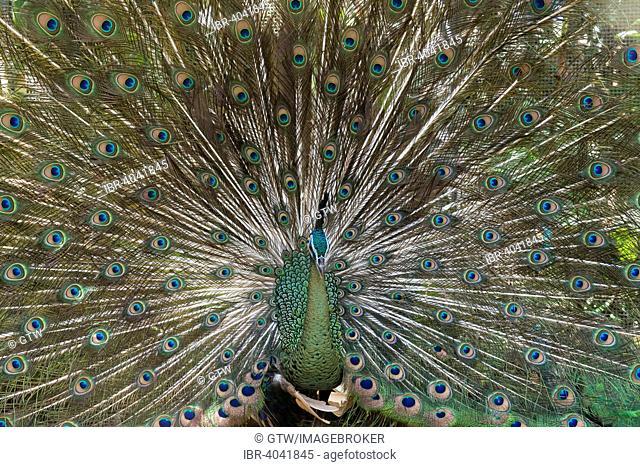 Java Peafowl or Green Peafowl (Pavo muticus), Bali Bird Park, Bali, Indonesia