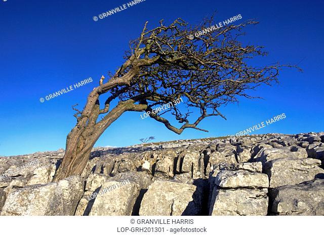 England, North Yorkshire, Twistleton Scars. A windswept tree growing on limestone pavement
