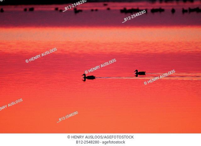 Greylag Goose (Anser anser), after sunset, Netherlands