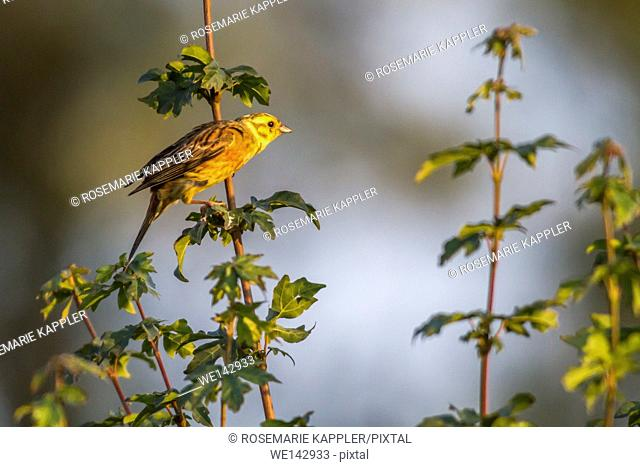 Germany, saarland, homburg - A yellowhammer is sitting on a branch