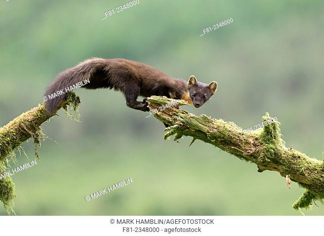Pine Marten (Martes martes) leaping between mossy logs