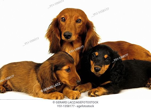 SMOOTH-HAIRED DACHSHUND AND LONG-HAIRED DACHSHUND, FEMALE WITH PUPS