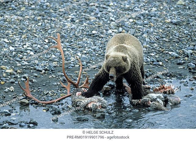 Grizzly Bear, Ursus arctos horribilis