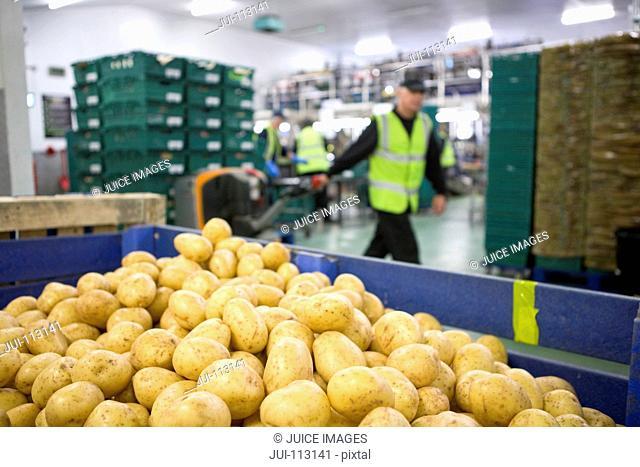 Worker pulling pallet truck behind bin of fresh harvested potatoes