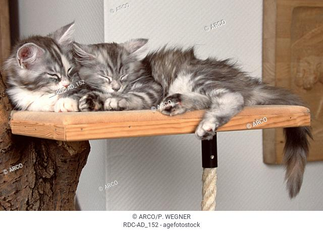 Maine Coon Cats kittens sleeping