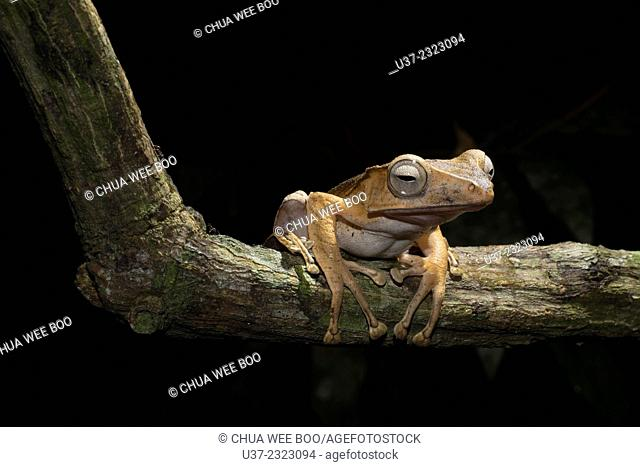 File-eared tree frog Polypedates otilophus