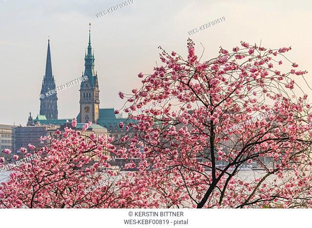 Germany, Hamburg, Germany, Hamburg, blossoming cherry tree at Binnenalster, towers of town hall and St. Nicholas' Church