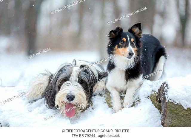 Bearded Collie and Sheltie