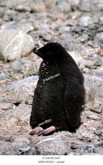 Large fluffy adelie penguin chick Pygoscelis adelie Paulet Island, Antarctica