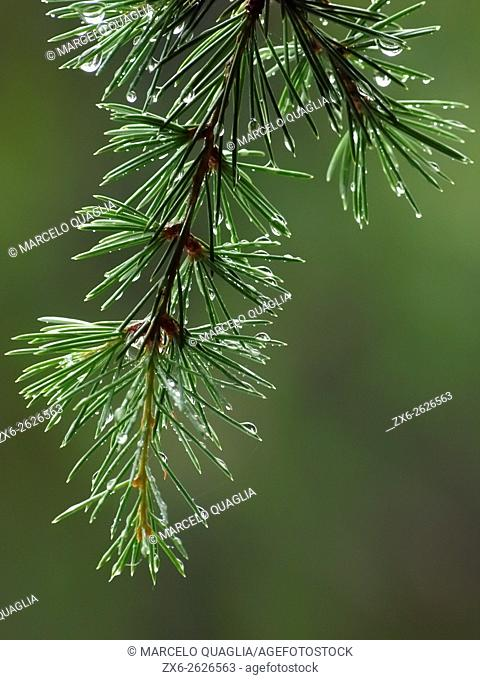 Droplets on a European silver fir tree branch (Abies alba). Summer time at Montseny Natural Park. Barcelona province, Catalonia, Spain