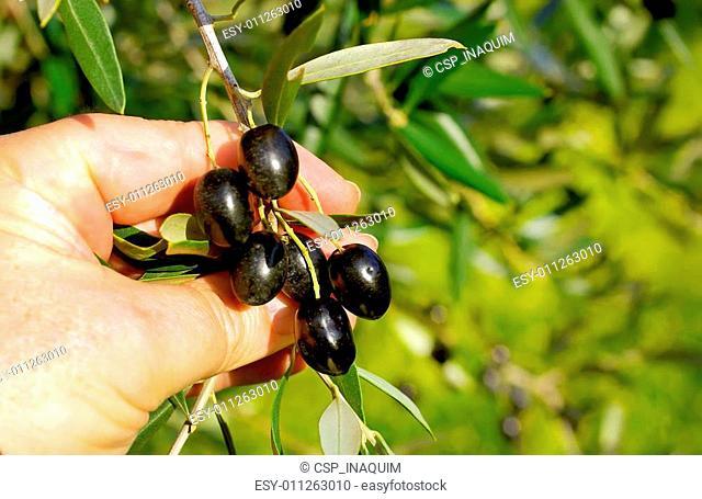 Branch of black olives in hands