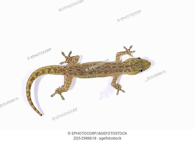 Gecko, Pondicherry, Tamil Nadu, India