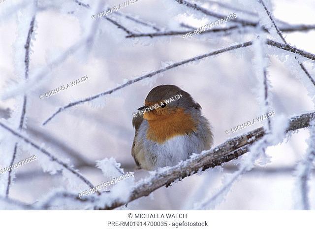 European robin, Robin, Erithacus rubecula