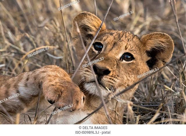 Lion cub (Panthera leo), in long grass, Tsavo, Kenya, Africa