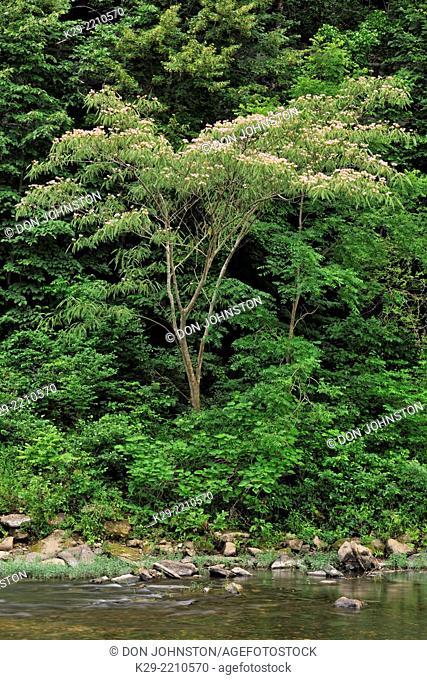 Sandstone bluffs and mimosa tree along the Buffalo River in summer, Buffalo National River- Pruitt's Landing, Arkansas, USA