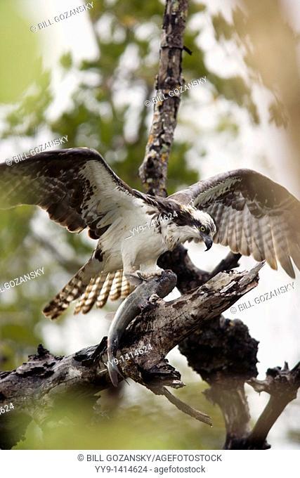 Osprey with Fish - J N  Ding Darling National Wildlife Refuge - Sanibel Island, Florida USA