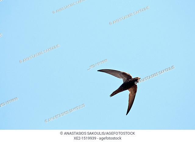 Common Swift - Apus apus, Crete