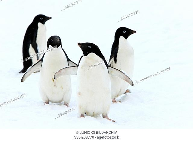 Adelie Penguin (Pygoscelis adeliae). Four adults standing on ice. Antarctica. No exclusive sales !
