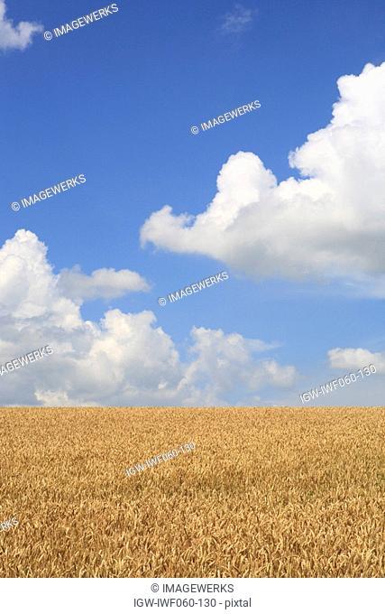 Japan, Hokkaido, Biei, Barley field