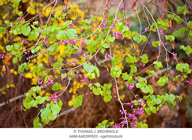 Redbud tree and Red Barberry in bloom, Grand Canyon