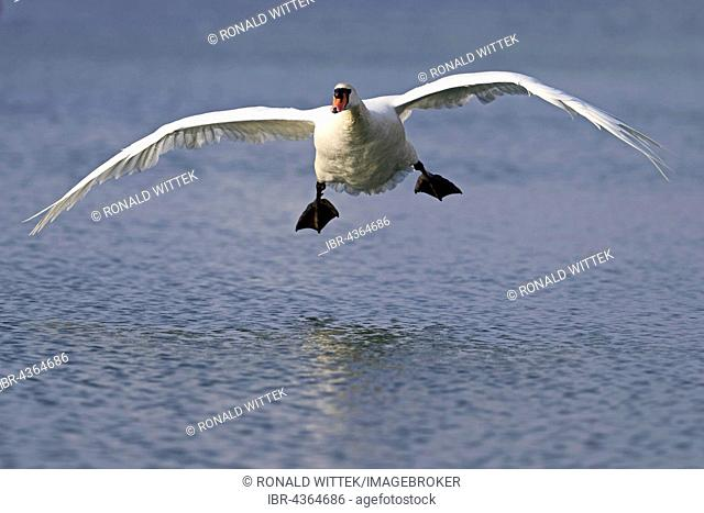 Mute swan (Cygnus olor) flying over water