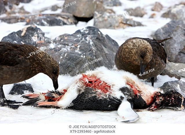 two antarctic skua picking over the remains of dead gentoo penguin neko harbour antarctica