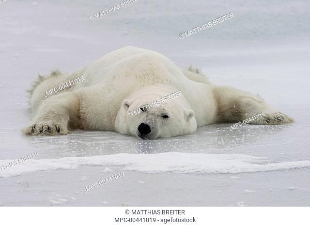 Polar Bear (Ursus maritimus) cooling off on a frozen lake, Churchill, Manitoba, Canada
