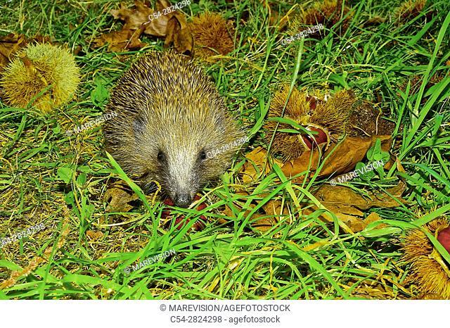 Western European hedgehog. Western Hedgehog. Northern Hedgehog (Erinaceus europaeus). Covelo. Pontevedra. Spain. Europe