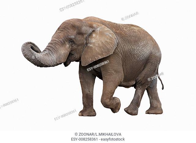 Walking gray elephant isolated on white background