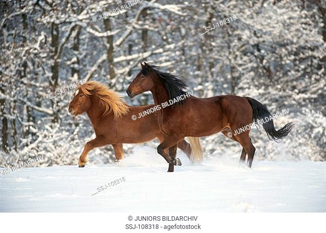 Icelandic horse and trotter in snow