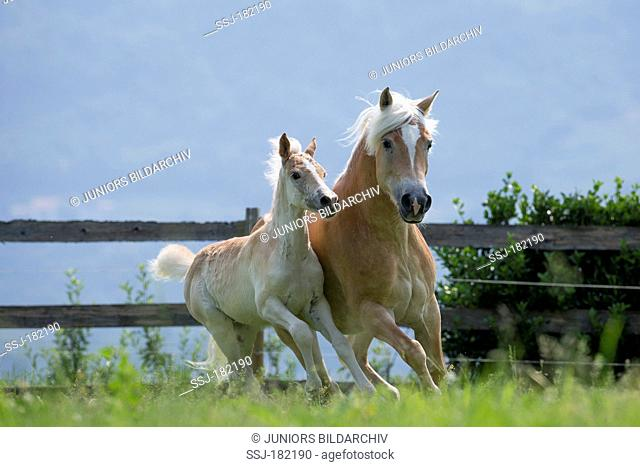 Haflinger Horse. Mare and foal galloping on an alpine pasture. South Tyrol, Italy