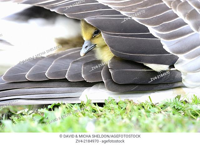 Close-up of a Greylag Goose (Anser anser) chick under a wing of his mother on a meadow in spring