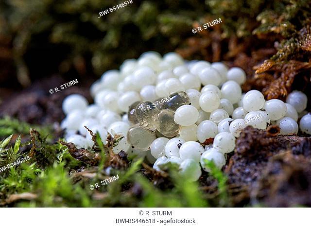 Giant gardenslug, European giant gardenslug, Great grey slug, Spotted garden slug (Limax maximus), glazed eggs on a clutch of eggs of a garden slug, Germany