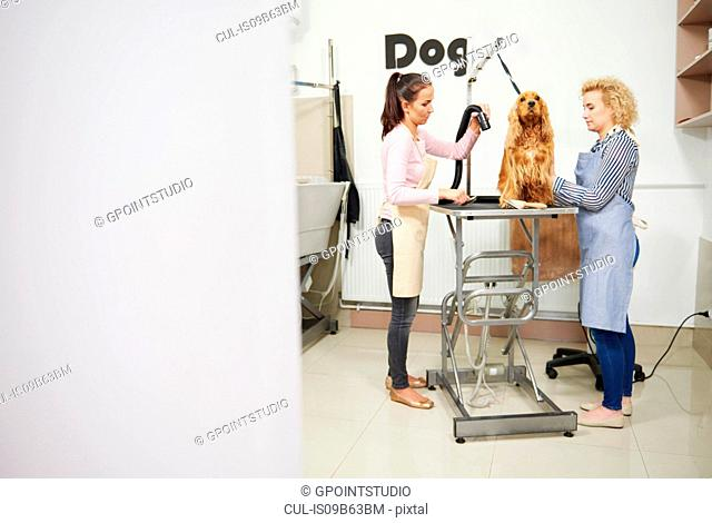 Female groomers blow drying cocker spaniel at dog grooming salon