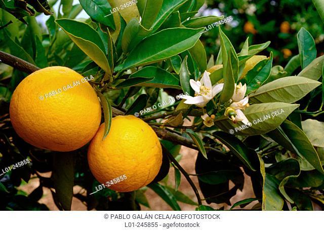 Orange tree (Citrus sinensis)