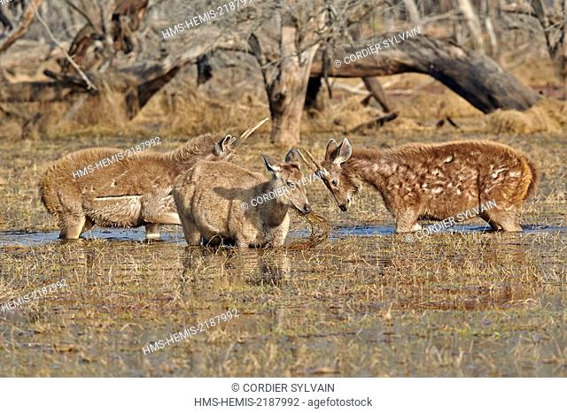 India, Rajasthan state, Ranthambore National Park, Sambar deer (Rusa unicolor), feeding on aquatics plants in a marsch, 2 youg males are fighting